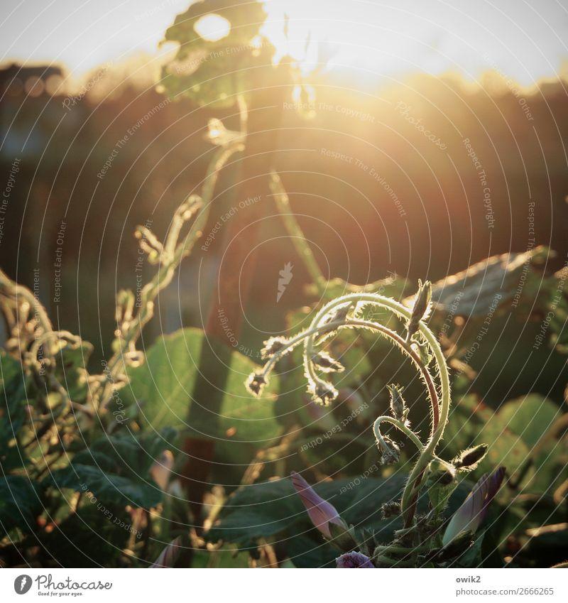 Junges Gerank Umwelt Natur Pflanze Wolkenloser Himmel Horizont Frühling Schönes Wetter Sträucher Blüte Ranke Garten leuchten dünn zart Farbfoto Außenaufnahme