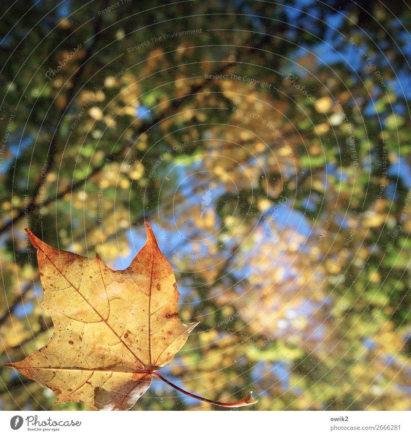 Blattwerk Umwelt Natur Landschaft Pflanze Wolkenloser Himmel Herbst Schönes Wetter Ahornblatt Laubwald Laubbaum Blätterdach leuchten nah natürlich blau gelb