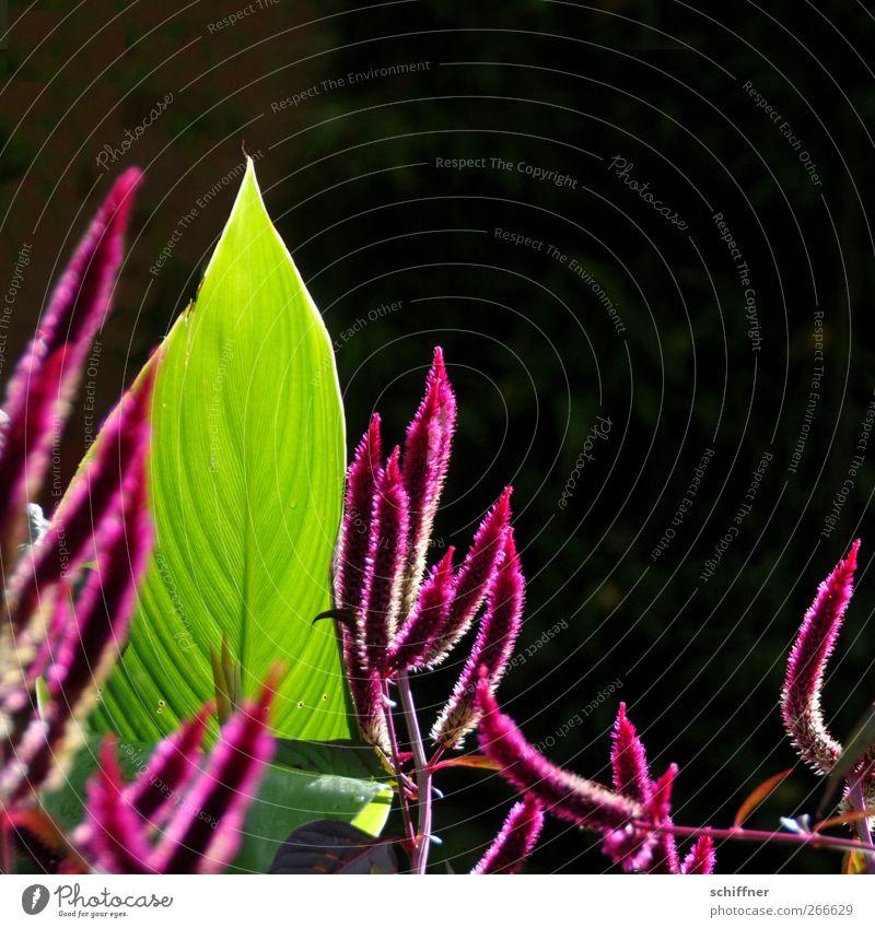 spitze Spitzen Pflanze Sonnenlicht Sträucher Blatt Blüte Grünpflanze grün rosa Wachstum strecken Fuchsschwanz Amarant Fuchsschwanzgewächse Blattadern Blattgrün
