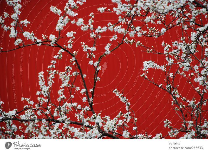 Blütenzeit Natur weiß Baum Pflanze rot Farbe Frühling Blüte träumen Sträucher Schnörkel