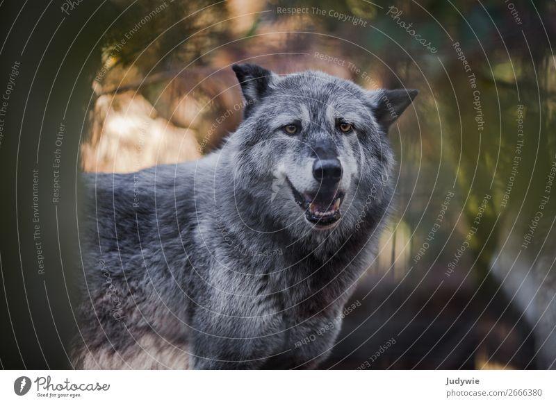 Canis Lupus Umwelt Natur Sommer Herbst Wald Tier Wildtier Zoo Wolf Gehege beobachten bedrohlich natürlich Neugier schön wild Kraft Willensstärke Tierliebe Angst