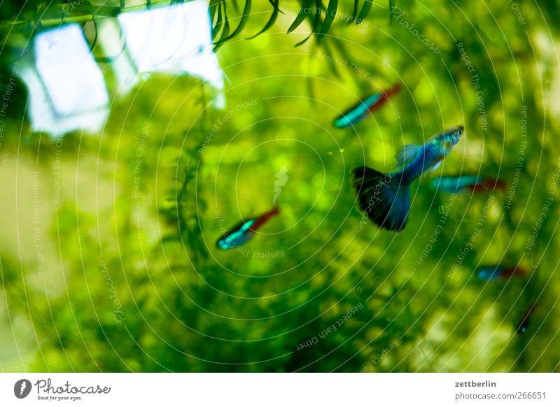 Aquarium Tier Haustier Tiergruppe Tierfamilie gut wallroth Wasser Wasserpflanze fischglas neonfische Farbfoto Gedeckte Farben Innenaufnahme Nahaufnahme