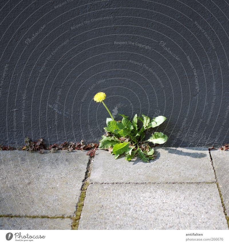 Löwenzahn grün Stadt Pflanze Sonne Sommer Blume Blatt Haus Umwelt gelb Wand Frühling Wege & Pfade grau Blüte Gebäude