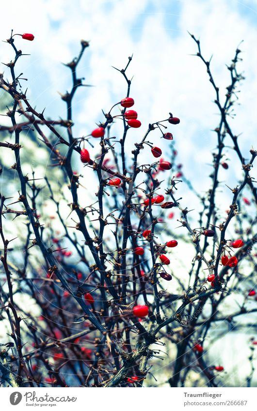 rote Farbkleckse im Winter... Natur Pflanze Farbe rot Winter kalt Frucht wild Eis Sträucher Frost Beeren frieren stachelig Wildpflanze Hundsrose