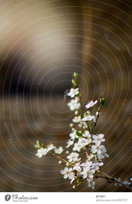 Frühlingsversprechen Umwelt Natur Pflanze Schönes Wetter Wärme Baum Blume Blüte braun weiß Baumblüte Zweige u. Äste verzweigt hell dunkel Blattknospe Blättchen