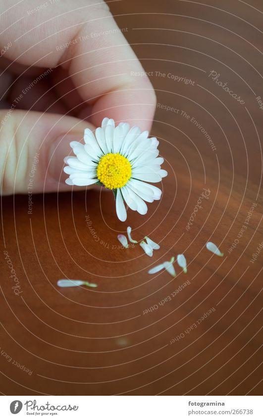 er liebt mich, er liebt mich nicht Natur Pflanze Liebe Umwelt Wiese Frühling Holz Blüte Verliebtheit verblüht