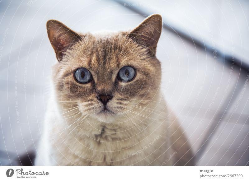 Überraschung | ....ins Gesicht geschrieben Tier Haustier Katze Fell 1 Blick warten blau braun weiß Treue Auge Hauskatze Schnurren Schnurrhaar Katzenauge