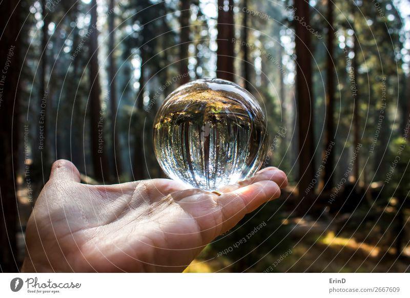 Riesiger Mammutbaumwald in Glaskugel Design schön Erholung Ferien & Urlaub & Reisen Berge u. Gebirge Hand Umwelt Natur Landschaft Baum Wald Kugel Globus