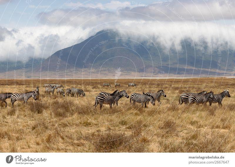 Ngorongoro Crater Safari Afrika Natur Landschaft Pflanze Tier Erde Sand Wolken Sommer Schönes Wetter Nebel Gras Sträucher Feld Berge u. Gebirge Wildtier Herde