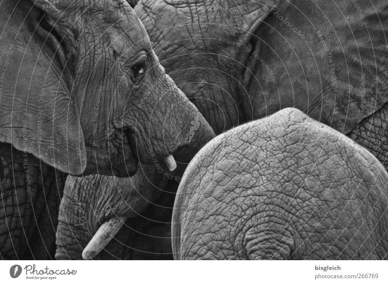 Dickhäuter IV Tier Wildtier Zoo Elefant Elefantenhaut Stoßzähne Elefantenohren 3 grau ruhig Zufriedenheit Schwarzweißfoto Außenaufnahme Menschenleer Tag