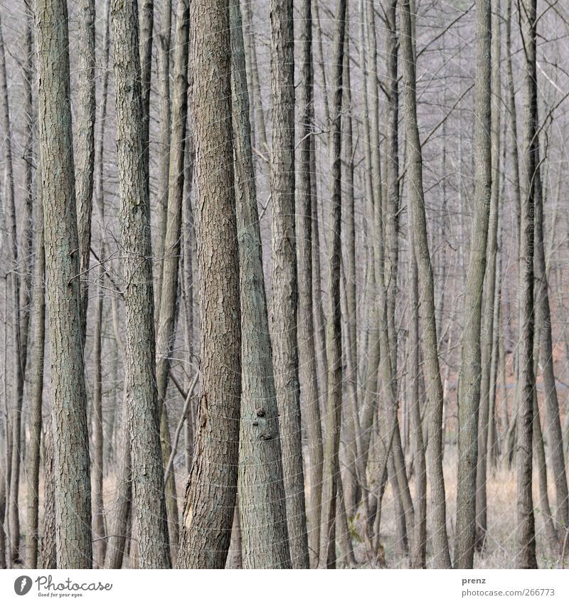 schlank Natur Baum Pflanze Wald Umwelt Holz grau Sträucher dünn Baumrinde