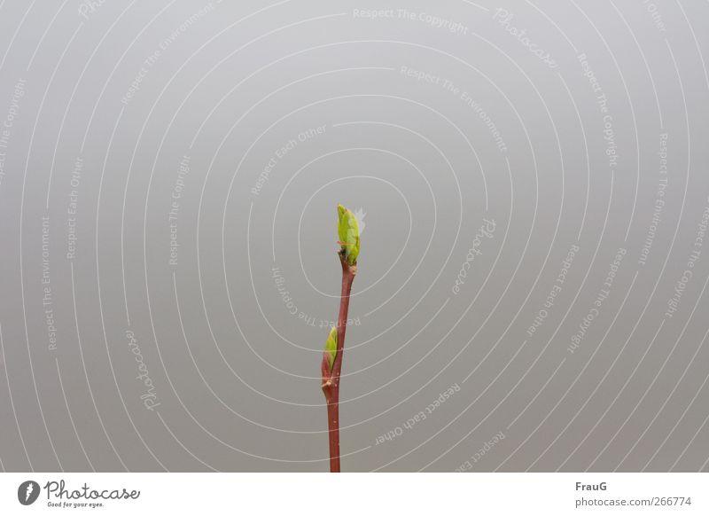 Zartes Erwachen Natur grün Pflanze rot Blatt Holz grau natürlich Beginn Wachstum Wandel & Veränderung Frühlingsgefühle