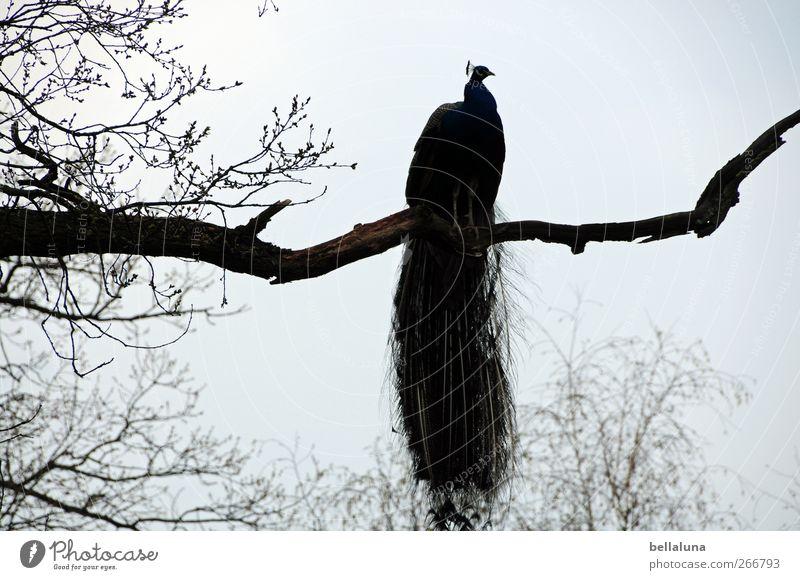 Den Überblick behalten Natur Wolkenloser Himmel Baum Tier Wildtier Vogel Flügel 1 sitzen ästhetisch sportlich exotisch frei schön Pfau Ast Zweige u. Äste