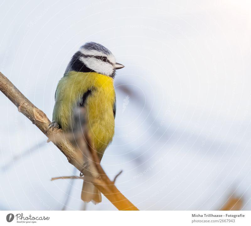 Blaumeise auf einem Zweig Umwelt Natur Tier Himmel Sonnenlicht Schönes Wetter Baum Wildtier Vogel Tiergesicht Flügel Krallen Meisen Schnabel Feder 1 beobachten