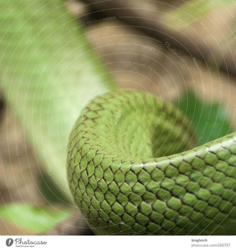 Schlange grün Tier Schuppen Schlangenlinie Schlangenhaut