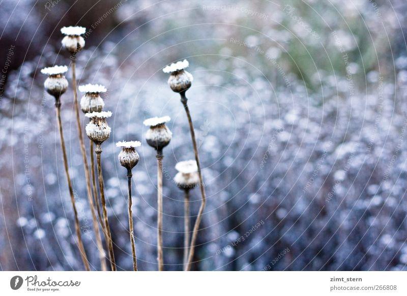 Schneemohn Natur blau weiß Pflanze Winter kalt Garten Kunst Eis braun Zusammensein Zufriedenheit Tanzen natürlich ästhetisch