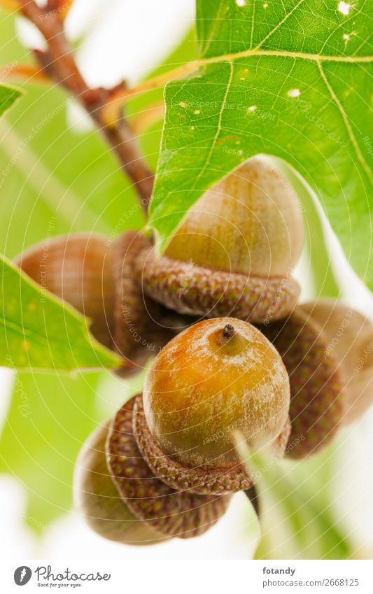 acorns on a twig with leaves on white Background Natur Pflanze Herbst Baum Wildpflanze Holz natürlich braun grün weiß Stillleben planen nutty Zweig
