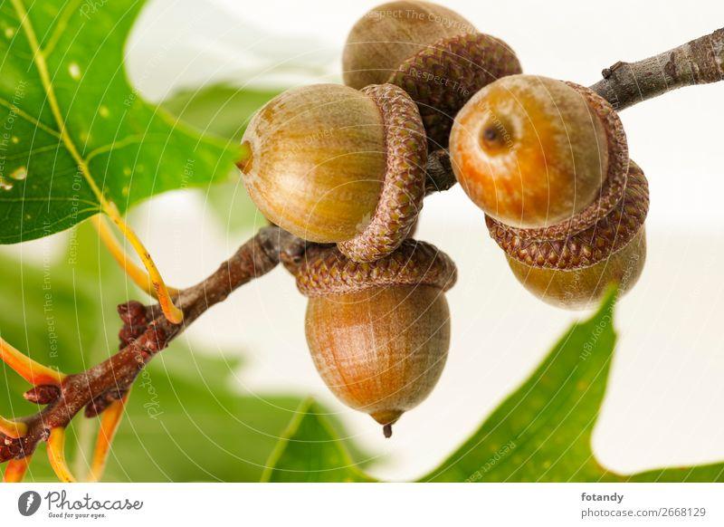twig with acorns on white Background Natur Pflanze Baum Wildpflanze gleich Stillleben planen Nut nutty Studioaufnahme Studiobeleuchtung Zweig Eicheln Frucht