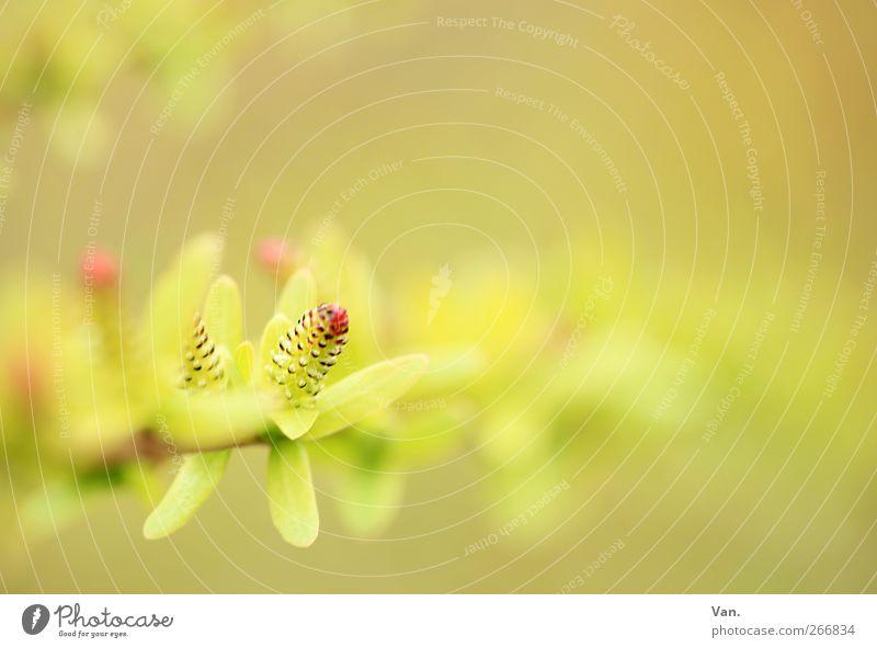 leicht Natur Pflanze Frühling Sträucher Blatt Zweig Blütenknospen Garten frisch hell schön Wärme weich gelb grün rot Farbfoto Gedeckte Farben Außenaufnahme