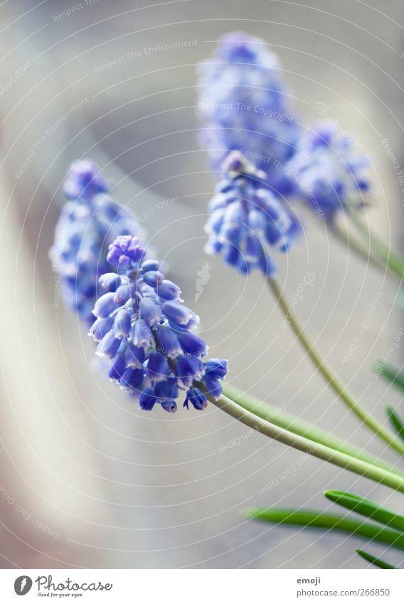 Gewächs Natur Pflanze Frühling Gras frisch violett Lavendel Grünpflanze