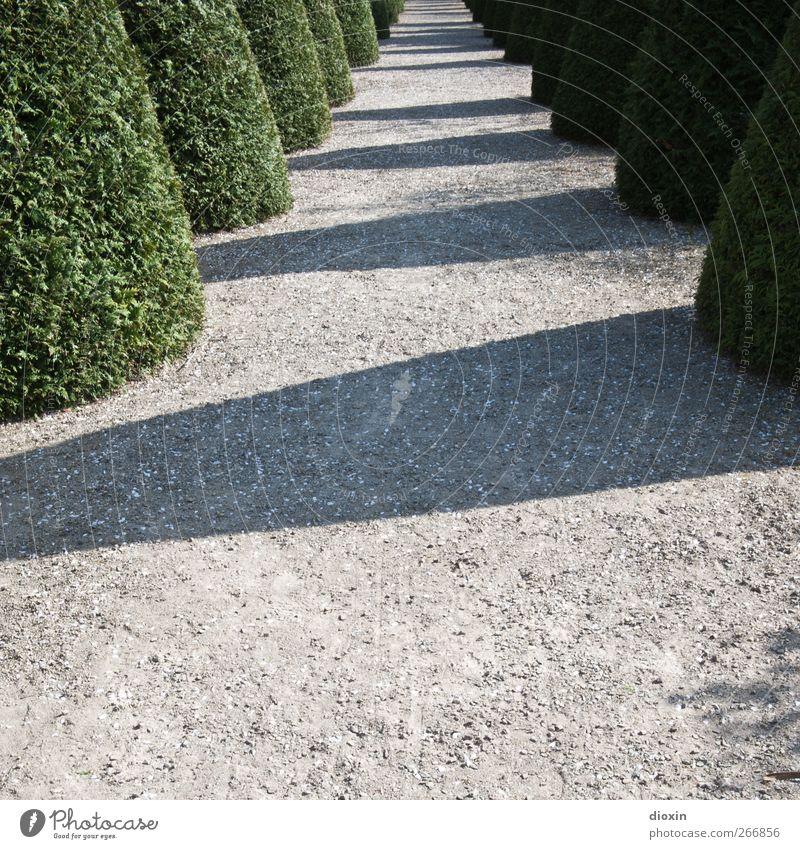 lustwandeln Umwelt Natur Pflanze Sonnenlicht Schönes Wetter Baum Blatt Grünpflanze Buchsbaum Garten Park Wege & Pfade Wachstum Gartenbau Fußweg kegelförmig