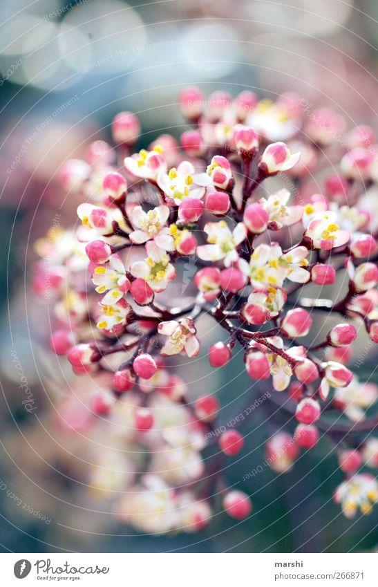 FlowerPower Natur Pflanze Frühling Sommer Blume Sträucher Blüte rosa Duft Blütenknospen Unschärfe Blühend Farbfoto Außenaufnahme Detailaufnahme Makroaufnahme