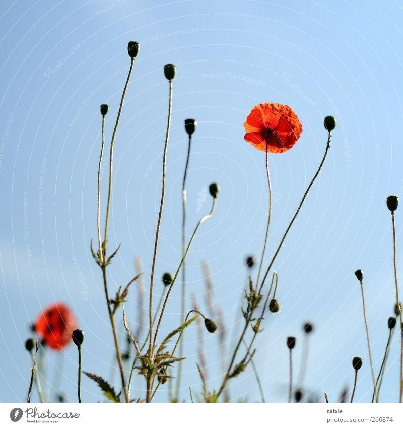 papoila Umwelt Natur Landschaft Pflanze Himmel Wolkenloser Himmel Frühling Sommer Schönes Wetter Blume Blatt Blüte Wildpflanze Mohn Wiese leuchten Wachstum