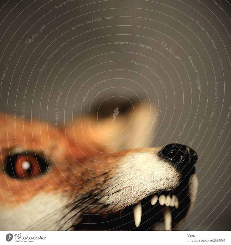 Herr F. aus W. Natur Tier Wildtier Totes Tier Tiergesicht Fell Fuchs Auge Gebiss Schnauze 1 Aggression bedrohlich grau rot orange Farbfoto Gedeckte Farben