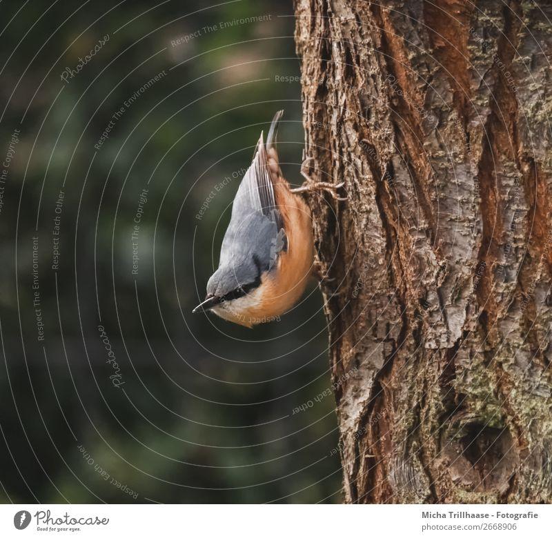 Kleiber kopfüber am Baumstamm Umwelt Natur Tier Sonnenlicht Schönes Wetter Wildtier Vogel Tiergesicht Flügel Krallen Feder Schnabel 1 beobachten Blick nah