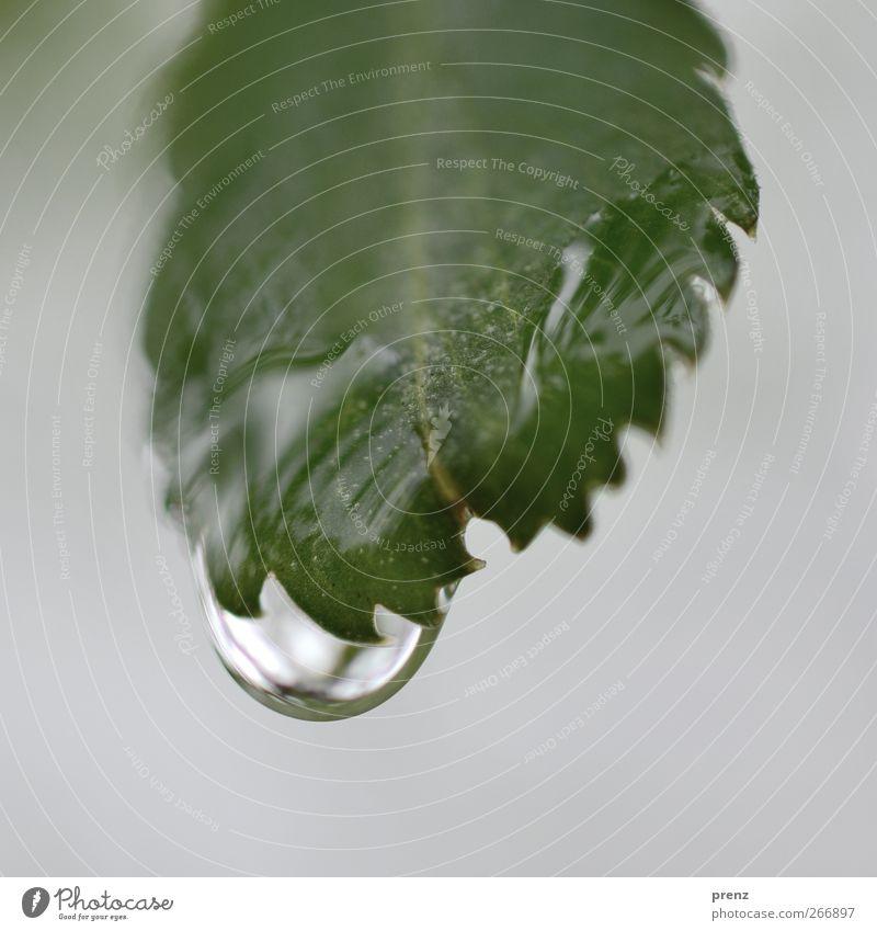 kralle Umwelt Natur Pflanze Wasser Wassertropfen Sträucher Blatt Wildpflanze grau grün Regen Blattadern Blattgrün Zacken Farbfoto Außenaufnahme Nahaufnahme