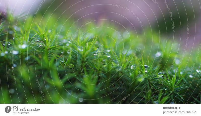 Moosperlen Umwelt Natur Pflanze Sonnenaufgang Sonnenuntergang schlechtes Wetter Gras Grünpflanze Wildpflanze authentisch frisch nass wild grün violett weiß