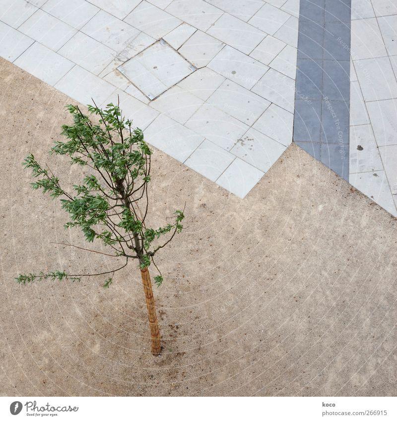 wachsen Natur Pflanze Erde Frühling Sommer Baum Park Platz Stein Sand Beton Holz Linie Wachstum dünn klein natürlich positiv rebellisch braun grau grün schwarz