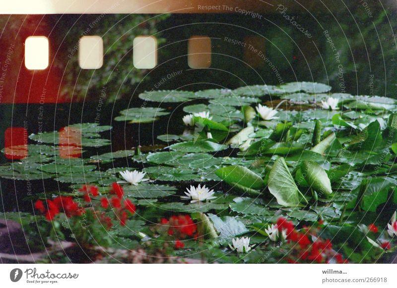 Analoge Fotografie Pflanze Blume Blüte Seerosenteich Seerosenblatt Teich Filmperforation analog Lotos Lotosblüte Lotosblatt