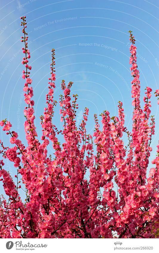 Himmel Natur blau schön Baum rot Pflanze Blume Farbe Leben Frühling Blüte Park hell rosa Beginn