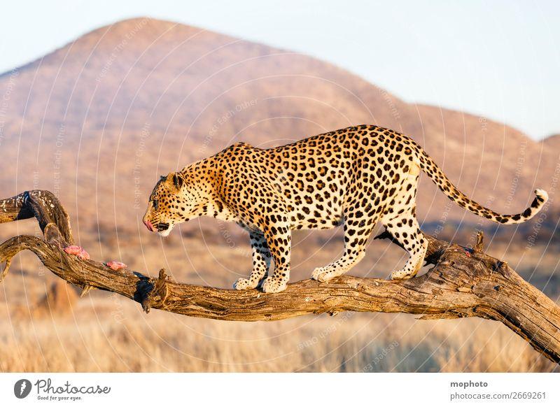 Leopard #14 Ferien & Urlaub & Reisen Natur Landschaft Baum Tier Berge u. Gebirge Gras Tourismus Wildtier gefährlich Ast Klettern Zweig Wüste Afrika Fleisch