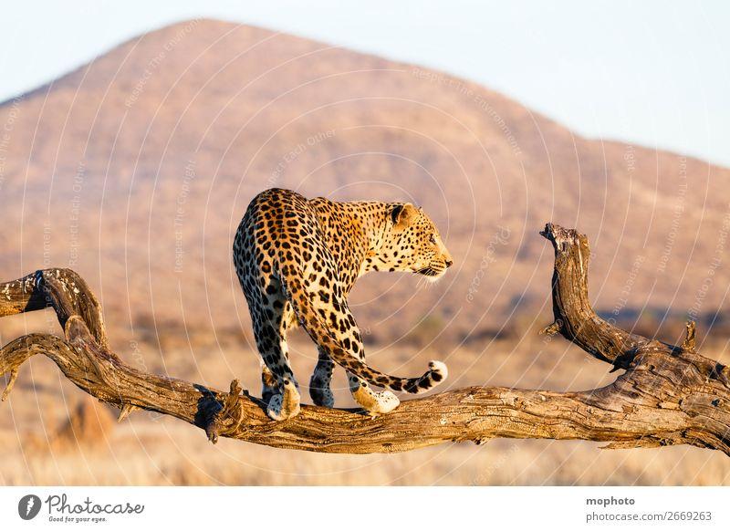 Leopard #15 Ferien & Urlaub & Reisen Natur Landschaft Baum Tier Berge u. Gebirge Gras Tourismus elegant Wildtier Abenteuer gefährlich Ast Klettern Zweig Wüste