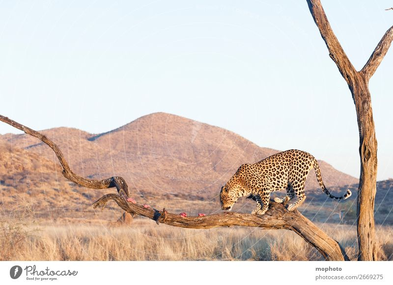 Leopard #17 Ferien & Urlaub & Reisen Natur Landschaft Baum Tier Berge u. Gebirge Gras Tourismus Wildtier gefährlich Ast Klettern Zweig Wüste Afrika Fleisch