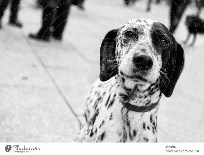 Gestatten, 102. Tier Haustier Hund Tiergesicht beobachten Lächeln Blick Dalmatiner Punkt getupft gepunktet Hängeohr Auge Schnauze wach Freundlichkeit