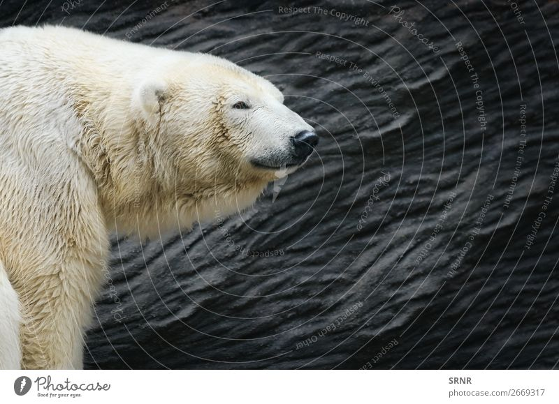 Eisbär Zoo Natur Tier wild Tiere Bär Fleischfresser Fauna Kopf Säugetier Raubtier ursus Tierwelt Außenaufnahme Porträt