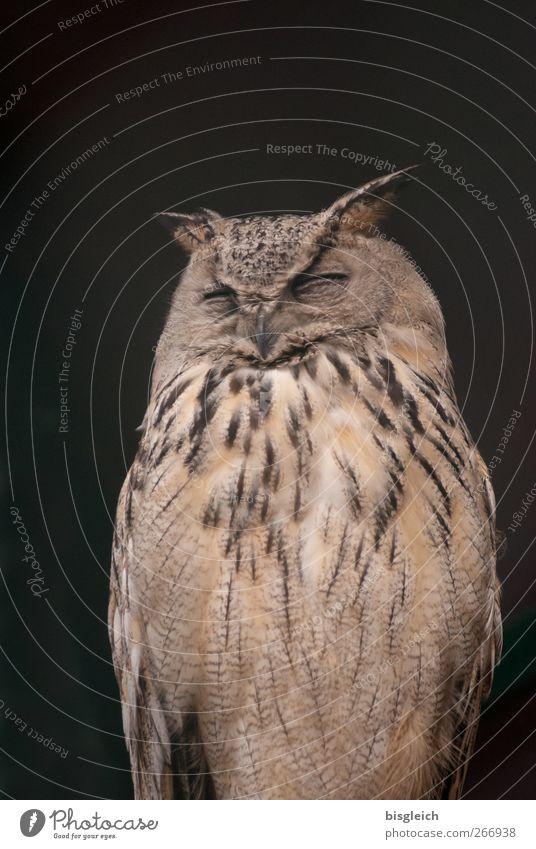 Uhu Tier Vogel Tiergesicht Zoo Feder 1 schlafen sitzen braun Weisheit Farbfoto Gedeckte Farben Außenaufnahme Menschenleer Textfreiraum oben Hintergrund neutral