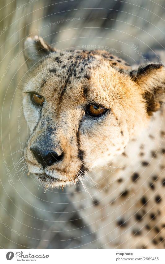 Gepard #2 Gesicht Tourismus Safari Natur Tier Gras Wüste Wildtier Tiergesicht Ferien & Urlaub & Reisen Afrika Namibia Raubkatze arid augen Grasland kopf