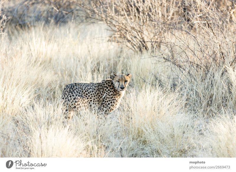 Gepard #3 Tourismus Safari Natur Tier Gras Wüste Wildtier Tiergesicht Ferien & Urlaub & Reisen Afrika Namibia Raubkatze arid getarnt Grasland portrait