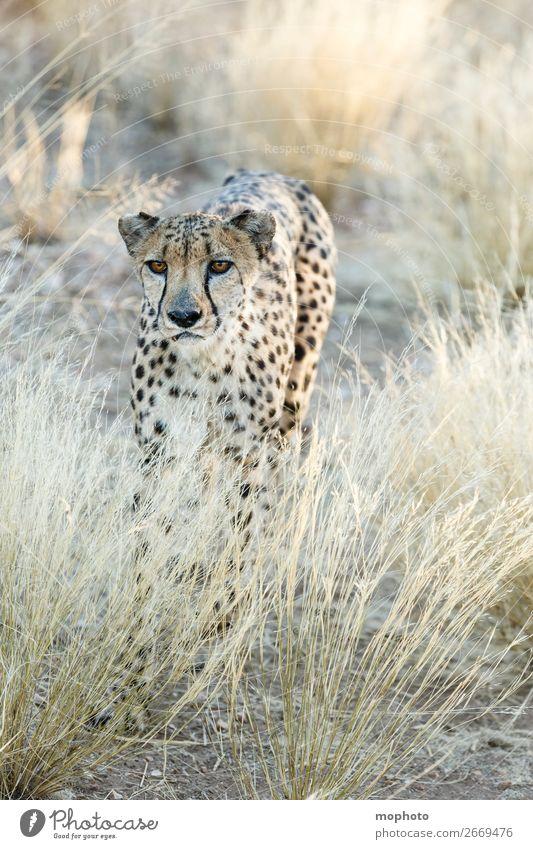 Gepard #4 Ferien & Urlaub & Reisen Natur Tier Gras Tourismus Wildtier Wüste Afrika verstecken Tiergesicht Wildnis Grasland Tarnung Safari Namibia Landraubtier