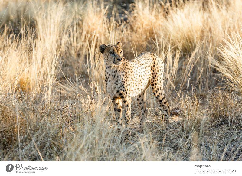 Gepard #5 Tourismus Safari Natur Tier Gras Wüste Wildtier Tiergesicht 1 Ferien & Urlaub & Reisen Afrika Namibia Raubkatze arid Grasland portrait Landraubtier