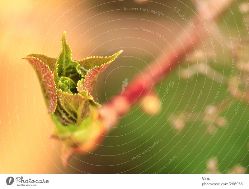 Frühling Natur Pflanze Schönes Wetter Sträucher Blatt Zweig Stengel Blattknospe Garten Wachstum frisch hell Wärme grün rot Farbfoto mehrfarbig Außenaufnahme