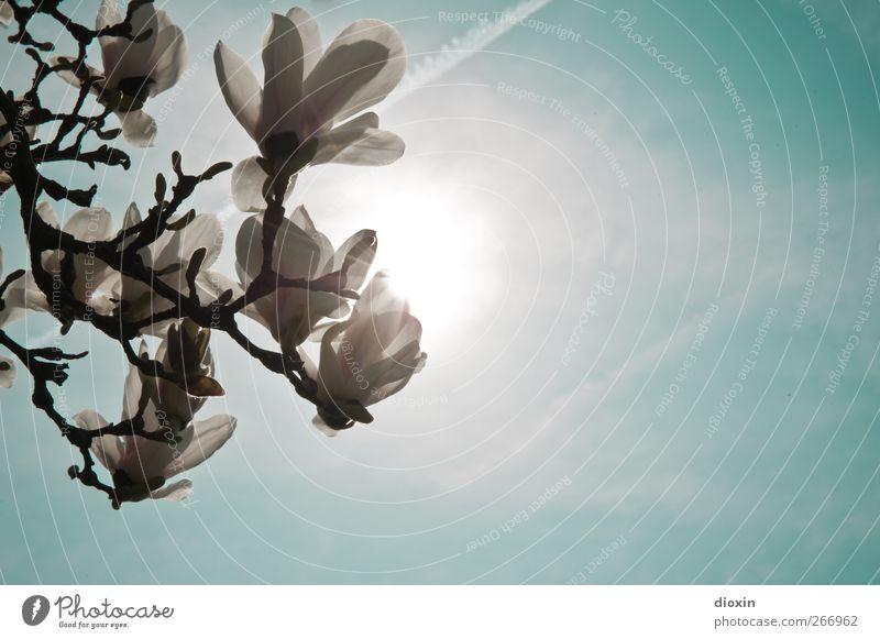 Magnolia light Umwelt Natur Pflanze Himmel Sonne Sonnenlicht Frühling Baum Blüte exotisch Ast Garten Park Blühend Duft leuchten Wachstum Frühlingsgefühle