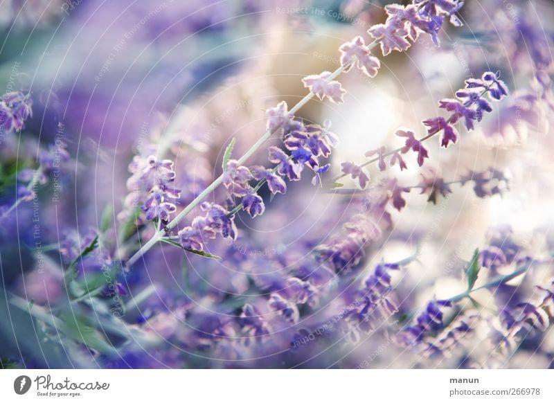 Lavendelsommer Natur Pflanze Sommer Blume Blüte natürlich authentisch Sträucher violett Blühend Kräuter & Gewürze Duft Lavendel sommerlich Sommerblumen