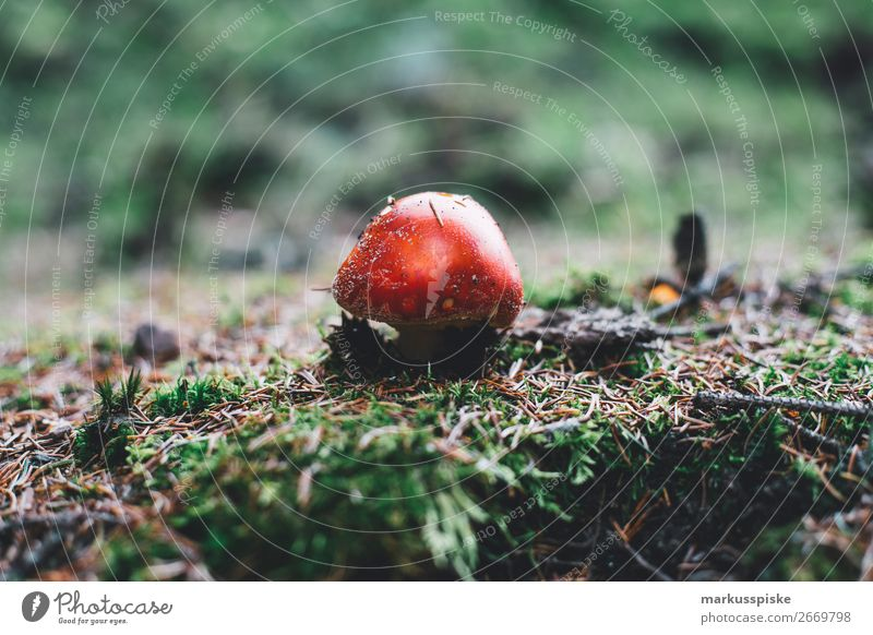 Giftiger Fliegenpliz Pflanze Landschaft rot Tier Ferne Berge u. Gebirge Herbst Garten Freiheit Ausflug wandern Abenteuer Sträucher gefährlich Moos Expedition