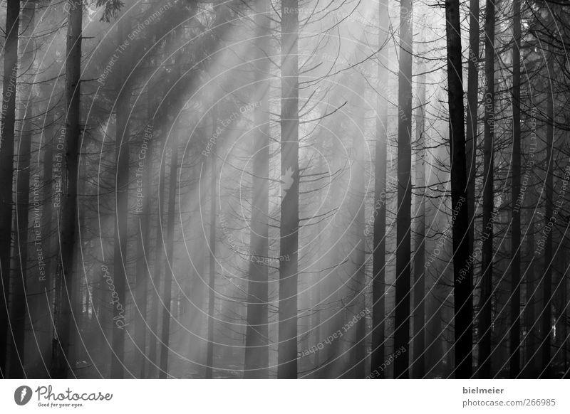 Sonnenstrahlen Sommer dünn Ferne gut schwarz weiß entdecken Leidenschaft Zukunft Wald dunkel Schwarzweißfoto Muster Tag Sonnenlicht Zentralperspektive