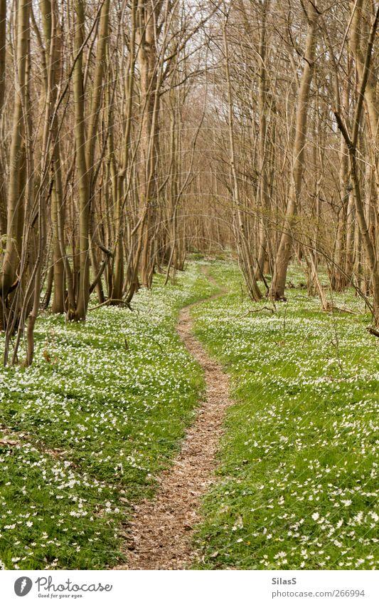 Blümchenwaldpfad Natur weiß grün Baum Pflanze Blume Wald Frühling Wege & Pfade Gras braun Schönes Wetter Frühlingsgefühle